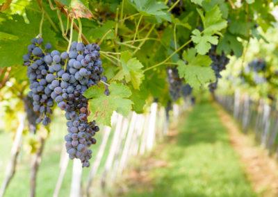 les vignes de tain l'hermitage